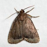 9640 - Smooth Amphipyra - Amphipyra glabella
