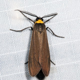 8267 - Yellow-collared Scape Moth - Cisseps fulvicollis
