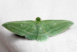 7648 - The Bad Wing - Dyspteris abortivaria
