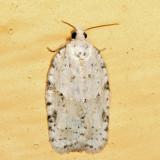 3540 - Black-headed Birch Leaffolder - Acleris logiana