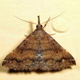 8379 - Sociable Renia - Renia factiosalis
