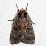 10968 – Northern Variable Dart – Xestia badicollis
