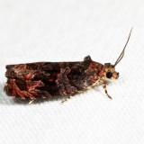2811 – Olethreutes melanomesum