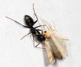 Eastern Black Carpenter Ant - Camponotus pennsylvanicus