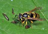 Eastern Yellowjacket eating a click beetle - Vespula maculifrons