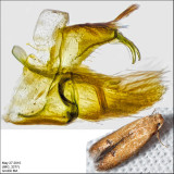 0144 - Oak Blotch Miner - Tischeria quercitella