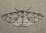 6597 – Small Engrailed Moth – Ectropis crepuscularia