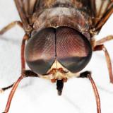 Tabanus catenatus (male)