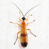 Acrotaphus wiltii  (male)