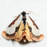 9299 – Pearly Wood-nymph – Eudryas unio