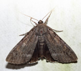 8784 – Obscure Underwing – Catocala obscura