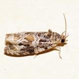 2817 - Raspberry Leafroller - Olethreutes permundana