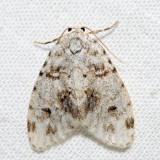 8098 - Little White Lichen Moth - Clemensia albata