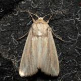 10445 - Linda Wainscot - Leucania linda