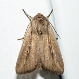 10444 – Phragmites Wainscot - Leucania phragmitidicola