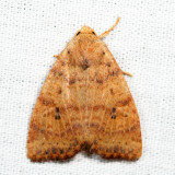 9961 - Dotted Sallow - Anathix ralla