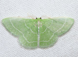 7058 - Wavy-lined Emerald - Synchlora aerata