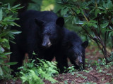Momma Black Bear & cub