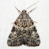 8878.1 - Little Lined Underwing - Catocala lineella
