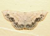 7159 - Large Lace-border - Scopula limboundata