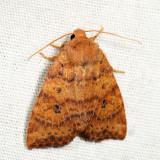 9961 - Dotted Sallow - Anathix ralla