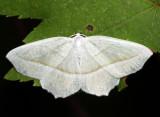 6796 - Pale Beauty - Campaea perlata