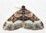 7399 - Sharp-angled Carpet - Euphyia intermediata