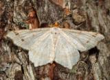 6342 – Red-headed Inchworm Moth – Macaria bisignata