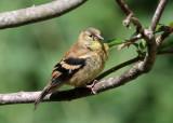 American Goldfinch - Spinus tristis