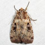 10943 - Norman's Dart - Xestia normanianus