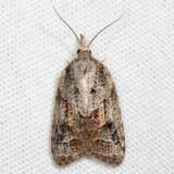 3740 – Tufted Apple Bud Moth – Platynota idaeusalis
