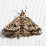 4760 - Obscure Pondweed Moth - Parapoynx obscuralis