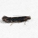2222 - Syncopacma palpilineella