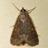 4975 - Garden Webworm Moth - Achyra rantalis