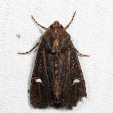9453 - Reniform Celaena - Helotropha reniformis