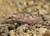 5622 - Greater Wax Moth - Galleria mellonella