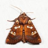 9488 - Ragwort Stem Borer - Papaipema insulidens
