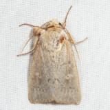 10459 - Unarmed Wainscot - Leucania inermis
