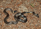 Northern Ring-neck Snake - Diadophis punctatus edwardsi
