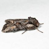 10394 - Lacinipolia vicina