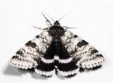 8803 - White Underwing - Catocala relicta