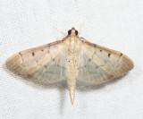 5272 - Two-spotted Herpetogramma - Herpetogramma bipunctalis
