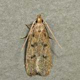 1142 - Glyphidocera septentrionella
