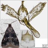 4754 - Black Duckweed Moth - Elophila tinealis