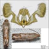 3110 - Eucosmini no genus (Eucosma) gomonana