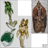 3542 - Masked Leafroller - Acleris flavivittana