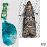 5926 - Elm Leaftier - Canarsia ulmiarrosorella