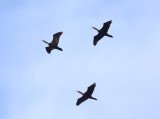 Double-crested Cormorants - Phalacrocorax auritus