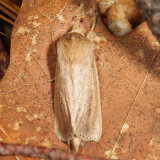 9449 - Oblong Sedge Borer - Capsula oblonga