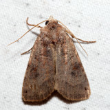 10944 - Smith's Dart - Xestia smithii